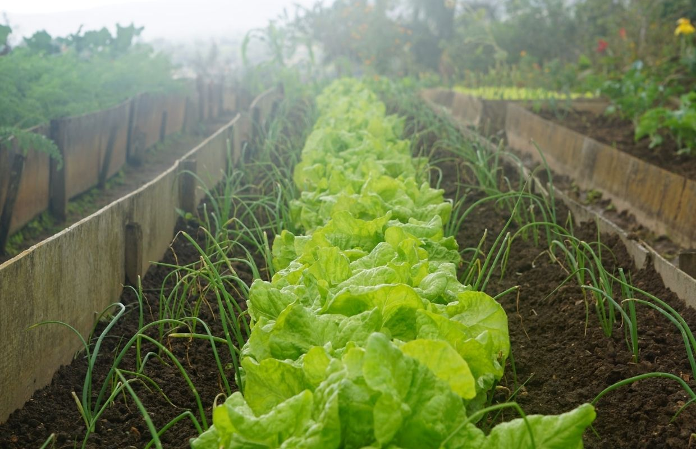 urban vegetable garden with lettuce